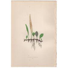 Lowe antique 1872 botanical fern print, Pl 20 Niphobolus Rupestris