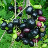 JAMUN JAMBUL FRUIT TREE Syzygium cumini INDIAN WAX APPLE Java plum live Plant