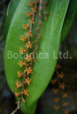 Botanica Ltd. Microterangis hariotiana *Five Flower Spikes* Species Orchid Plant