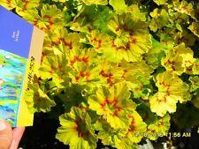 Pelargonium Geraniums, Fancy leaf Pink Salmon Flowers fresh cuttings x2