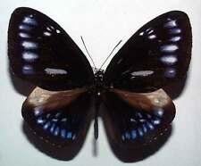 EUPLOEA ELEUSINA VOLLENHOVII - unmounted butterfly