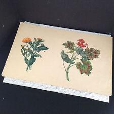 "Antique 1880's Original Colored Pencil Sketch Two Flowers - Jacobi 20"" x 12.5"""
