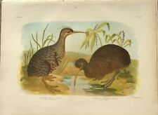 1887 Antique Lithograph - Little Grey Kiwi & South Island Kiwi - G.J.Broinowski