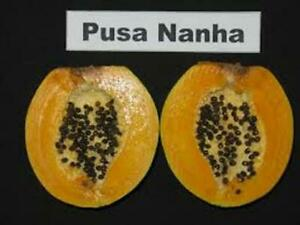 Ultra dwarf Papaya 10 seeds - Carica papaya 'Pusa Nahna'