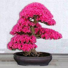 10pcs Bonsai Tree Japanese Sakura Seeds Flower Cherry Blossoms Red Potted Mini