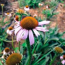 Certified Organic Echinacea angustifolia Flower Seeds (~50): Non-GMO Seed