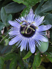 Passiflora caerulea Blue Bouquet HARDY BLUE PASSIONFLOWER! SEEDS!