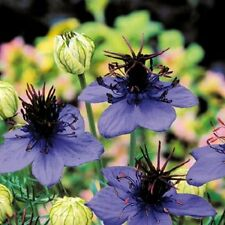 50+ NIGELLA LOVE IN THE MIST MIDNIGHT BLUE FLOWER SEEDS / RESEEDING ANNUAL