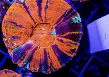 New listing Scoly 3.5� Live coral Scolymia Australis - A Grade Secret Tank X