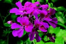 15 Seeds Film Coated Tornado Fuschia Geranium Seeds Trailing Geranium