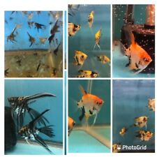 3 X Orange Koi and 3 x Marble Veil Angelfish - Pea Sized - SALE