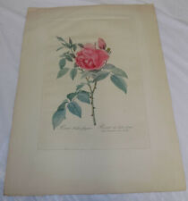 Early 1800s COLOR Large Print///TEA ROSE, or, ROSA INDICA FRAGRANS, by REDOUTE