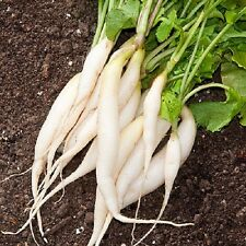 Heirloom WHITE ICICLE Radish❋1000+ SEEDS❋Pearl Forcing❋Healthy Roots & Greens