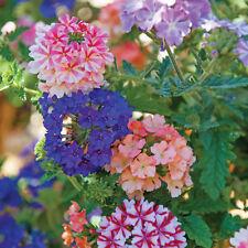 250 Seeds Veined Verbana Verbena Vervain Moujean tea Mix Flower Bulk Fragrant