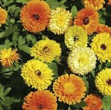 Fiesta Gitana Calendula annual flower - deep orange to pastel colours 25+ seeds