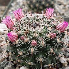 Mammillaria hahniaia Cactus Cacti Succulent Real Live Plant