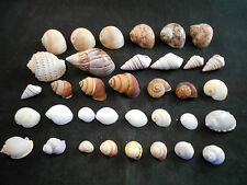 "35 Hermit Crab Shells Assorted Changing Seashells SMALL1/2""-2"" Size Beautiful ."