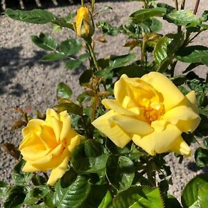 GARDENER'S GLORY   Climbing Rose  7ltr Potted Rose Plant   Buttercup Yellow