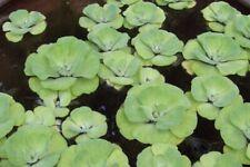 20 Each Water lettuce Pond Plant Koi Goldfish Garden Ponds Bag Of Mixes Sizes