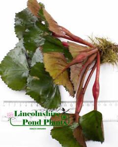 1 - 25 / Oxygenating Pond Water Plants - Water Chestnut - Floating Pond Plants