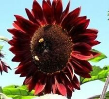 SUNFLOWER Moulin Rouge 10 seeds