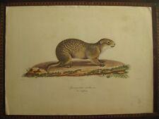 affiche animal : Spermophilus citillus