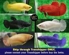 LIVE BETTA FISH FEMALE SOLID COLOR HMPK  TOP GRADE BREEDER - READY TO BREEDING