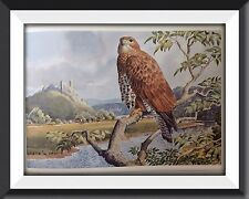 A Buzzard Beautiful Vintage Bird Print By Tunnicliffe Can Be Framed -P2