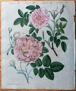 Bertuch Originaldruck Koloriert Botanik Rose (T9) - 1792