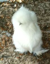 8 + Silkie Hatching Eggs NPIP