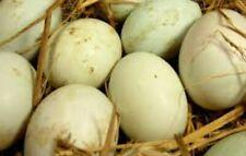 6 Fertilized duck eggs khaki campbell/pekin crosses. Great daily layers!