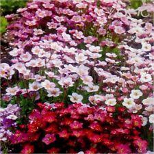 Saxifraga Mixed X 8 Plug Plants Hardy Rockery Perennial