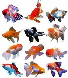 "2-3"" Fancy Fantail Moor Oranda Goldfish Ranchu Bubble Eye Aquarium Live Fish"