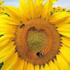 50 SUNFLOWER MAMMOTH Giant Seeds Flower Garden