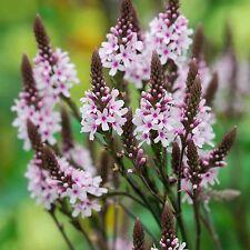 Verbena Hastata Rosea seeds 250 seeds