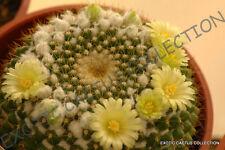 Mammillaria Marksiana exotic cacti rare cactus seed plant -20 Seeds