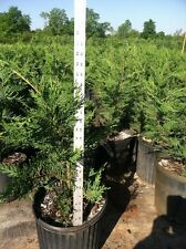 "20 Leyland Cypress Trees 2 Feet Tall! Evergreen- FREE Shipping! 24"" above pot"