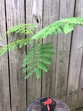 red delonix regia (4)inch potted plant fully rooted (12)to(18) inches