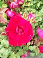 Valentine Bright Red Rose 2 Gal Live Plants Flower Plant Disease Resistant Roses