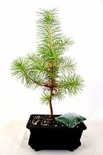 "Japanese Black Pine Bonsai Water Tray Fertilizer Plant Tree 5"" Pot Outdoor Yard"