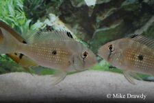 "(4) 3"" Acarichthys heckelii - American Cichlids Live Fish Threadfin Acara"