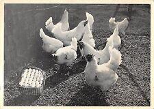 BT9434 animals animaux chicken poulets