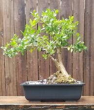 Japanese Boxwood bonsai. 10 inch plastic rectangle pot. Beautiful Old tree