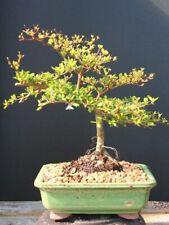 Amazing Black Olive bonsai tree 8 or 10 inch pot
