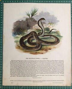1845 Antique Print; Egyptian Cobra or Naja Haje by SDUK / Whymper