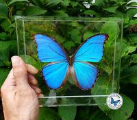 Real 3D Framed Blue Morpho didius - 8x7x1.5 - Acrylic Frame