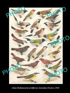 LILIAN MEDLAND VINTAGE PRINT OF AUSTRALIAN BIRDS 8x11 FINCH BREEDS