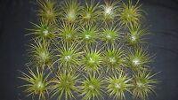 Bromeliad Tillandsia ionantha 20 air plants lot #85