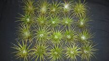 Bromeliad Tillandsia ionantha 20 air plants lot #41