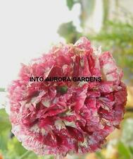 50 Poppy Flemish Antique Seeds Flowers Annual Poppies